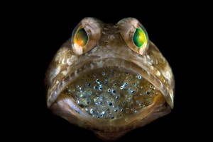 Male jawfish with eggs.